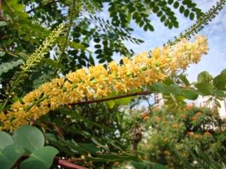 Caesalpinia spinosa - kvet