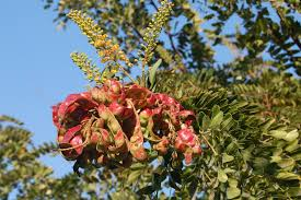 Caesalpinia spinosa - struk
