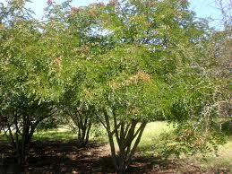 Caesalpinia spinosa - ker