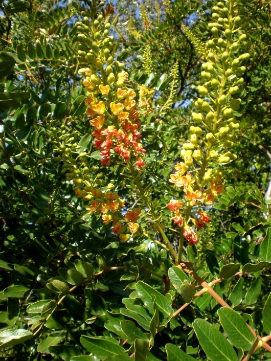 Caesalpinia spinosa (Tara)